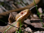 Adder (Vipera berus)